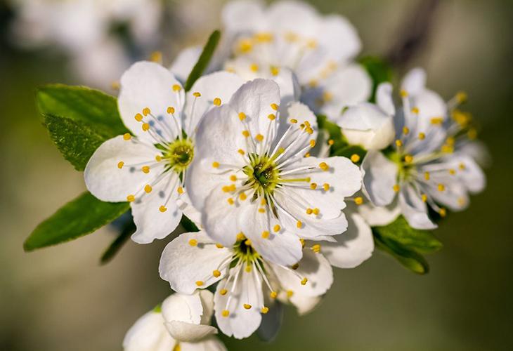 Черешня цветёт