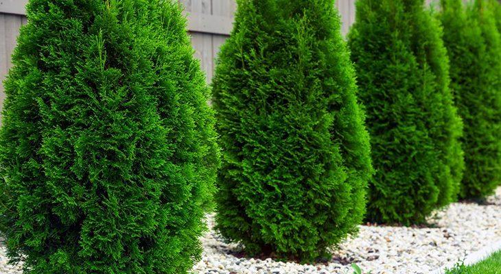 Озеленение участка туями
