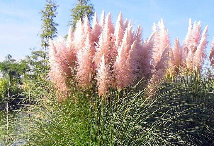 Характеристики травы Плюм розовая
