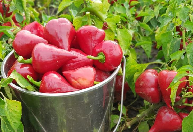 Урожайность перца Леся