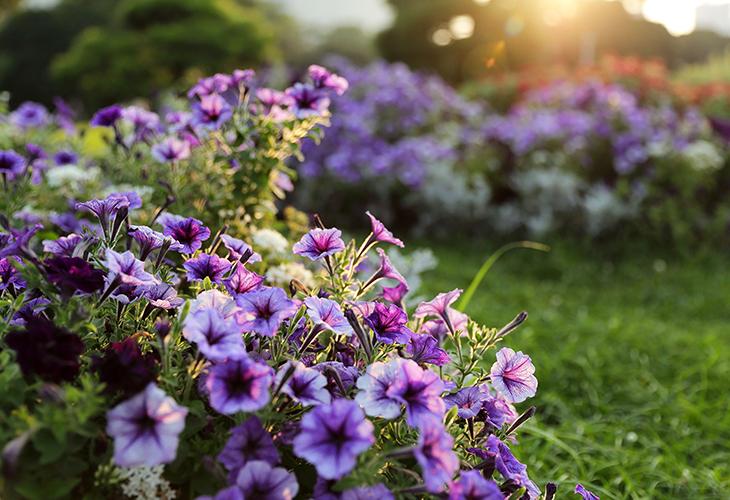 Фиолетовые цветы в саду