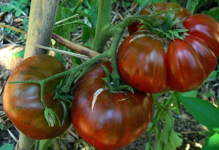 Урожайность томата Черный слон