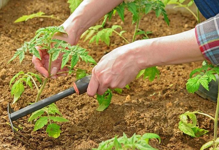 Рыхление почвы около томатов