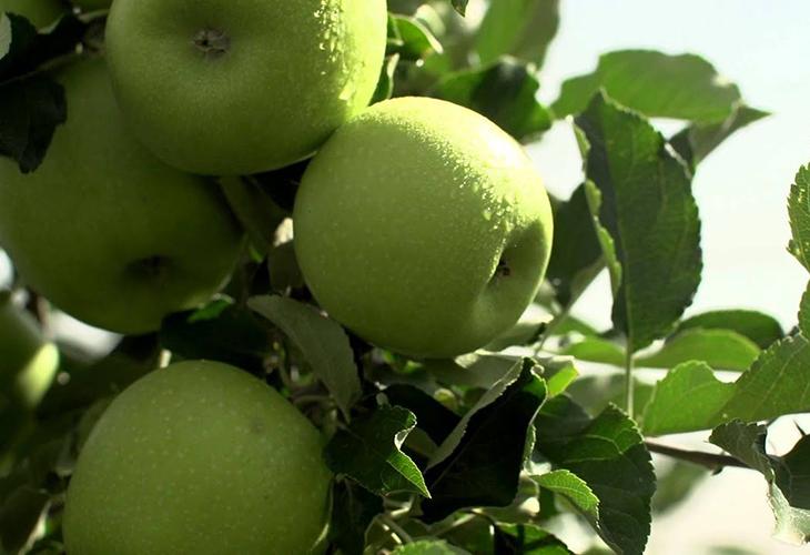 Описание яблок Грин Стар