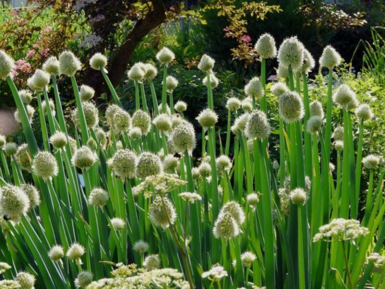 Как избежать стрелкования лука, посаженного весной севком