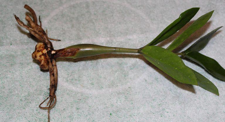 Замиокулькас размножение Черенкованием