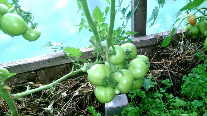 Снежная сказка помидоры в теплице