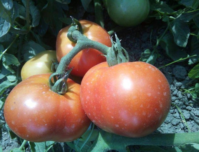 Томат Снежная сказка: выращивание, отзывы, фото