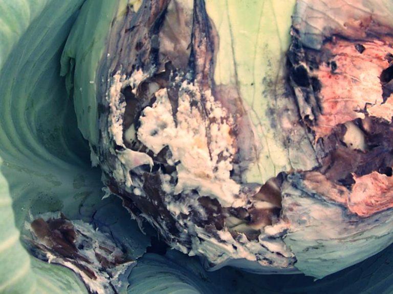 Белая гниль капусты