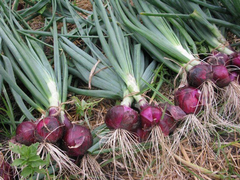 Лук на перо – какой сорт лучше выбрать для посадки на зелень