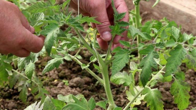 Формирование кустов томатов в теплице