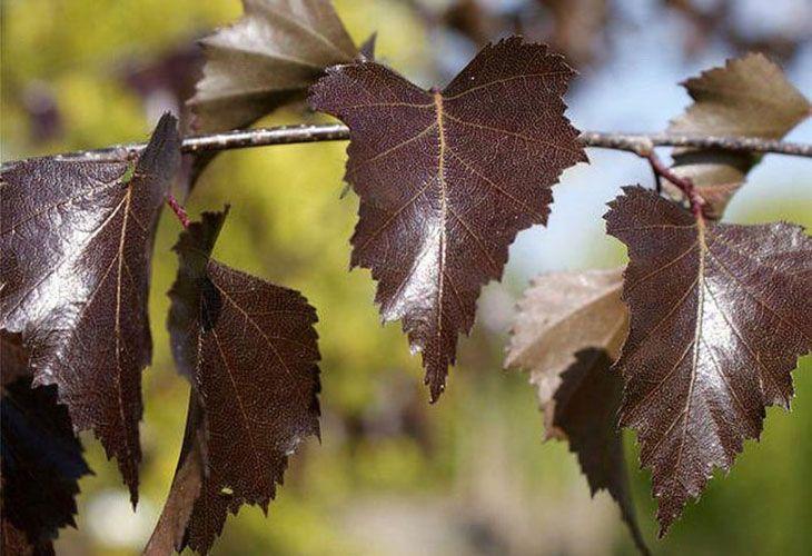 Пурпурные берёзовые листья