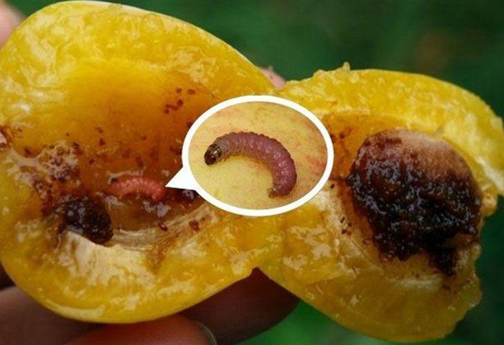 Гусеница плодожерки