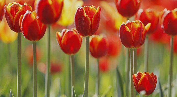 Болезни тюльпанов и лечение