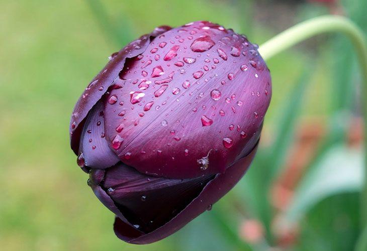 Бутон здорового тюльпана