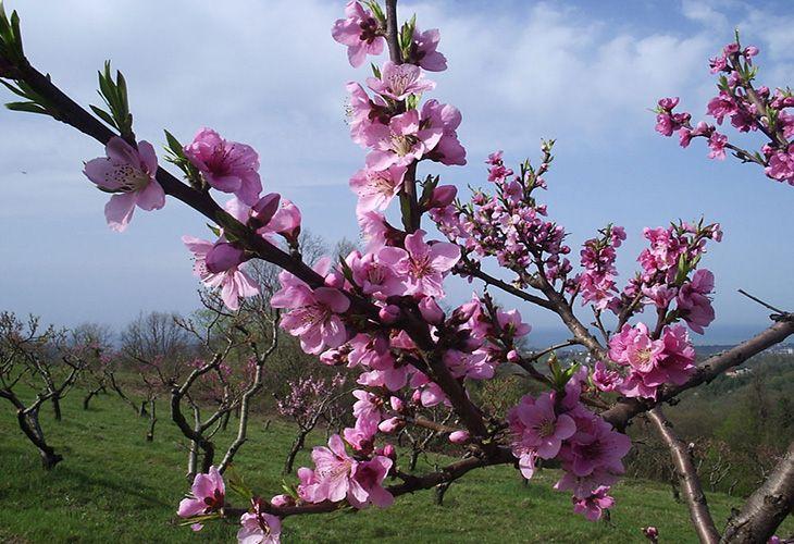 Цветущий персик весной