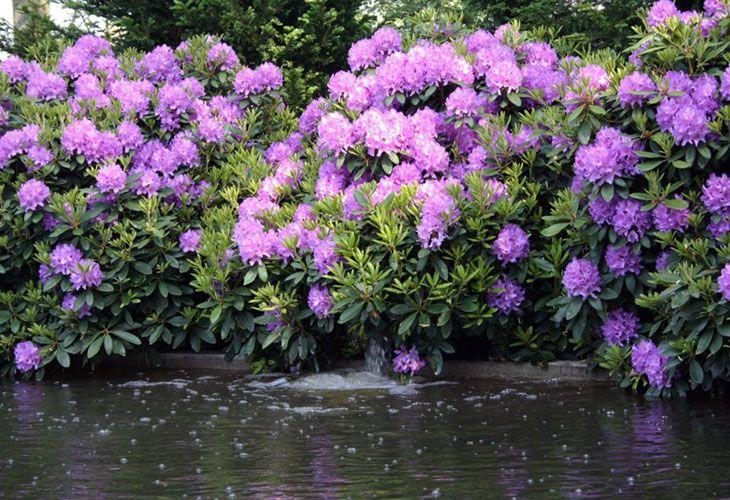 Рододендрон у озера