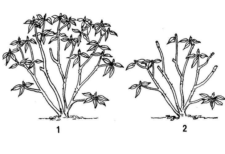 Обрезка рододендрона