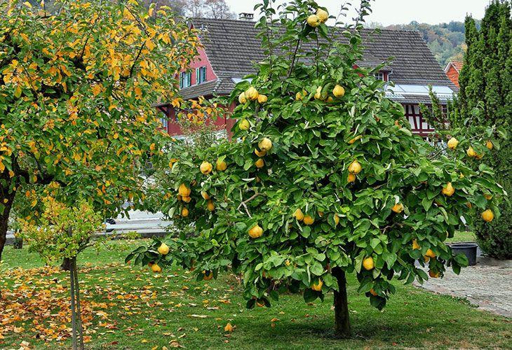 Дерево со спелыми плодами айвы