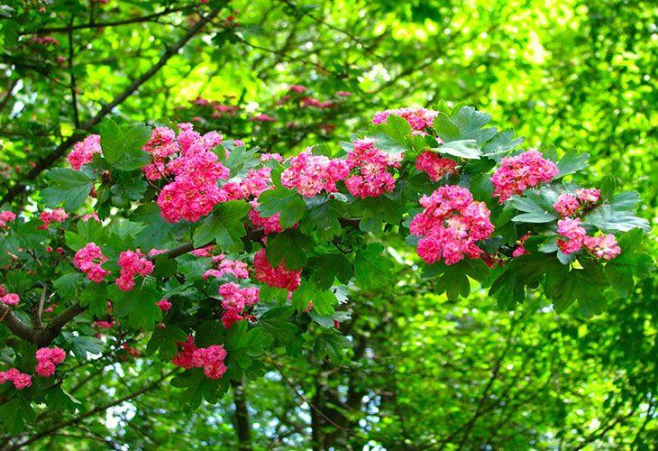 Цветущий боярышник
