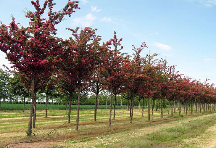 Молодые деревья боярышника