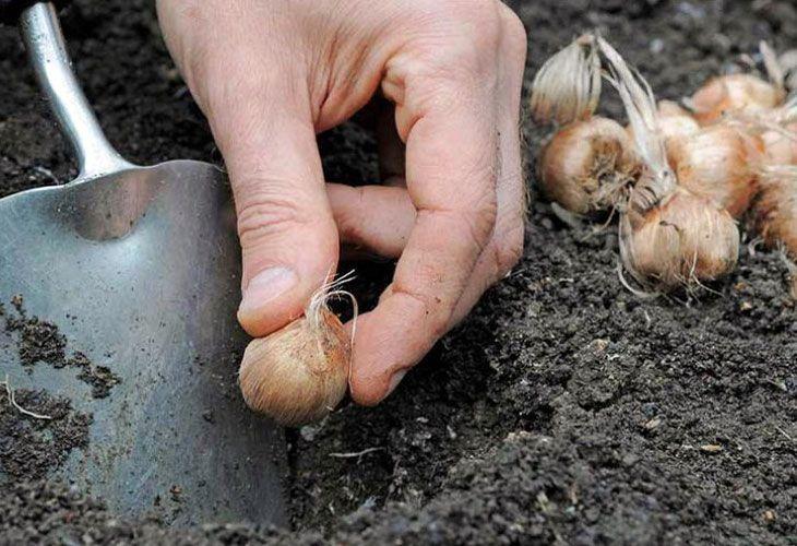 Высадка крокусов в грунт
