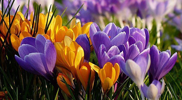 Крокусы весной