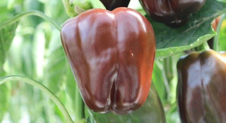 Перец Сладкий шоколад