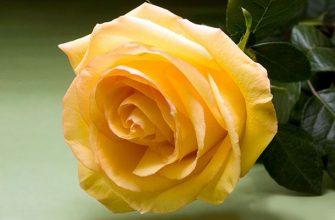 Роза Дежавю