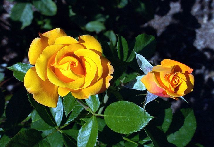 Роза сорта Deja vu