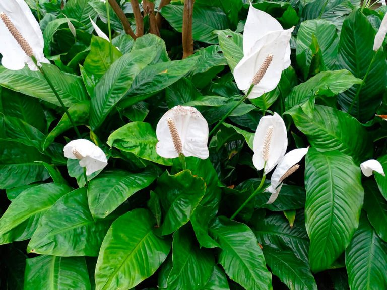 Спатифиллум – уход и выращивание в домашних условиях