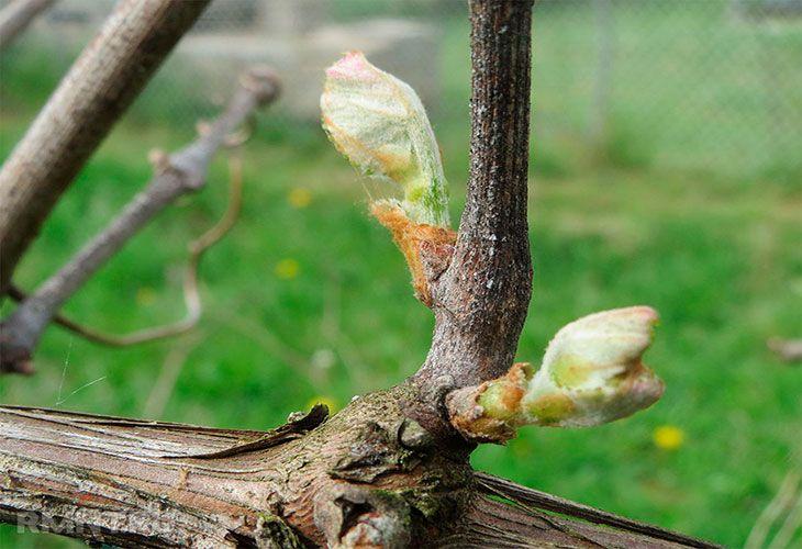 Виноградные почки