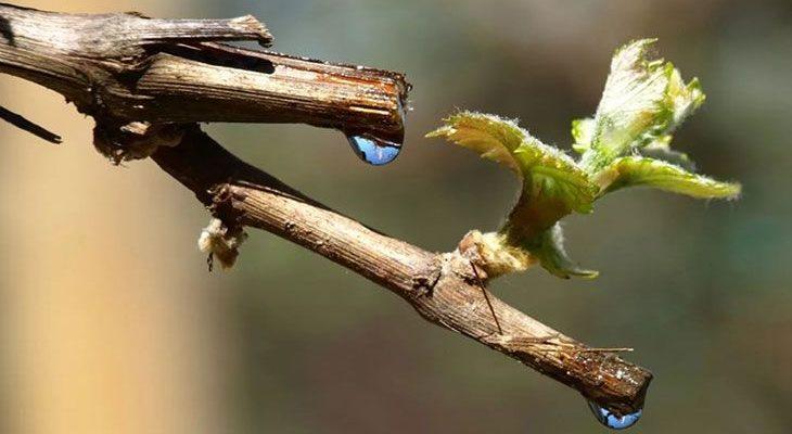 Весенний уход за виноградником