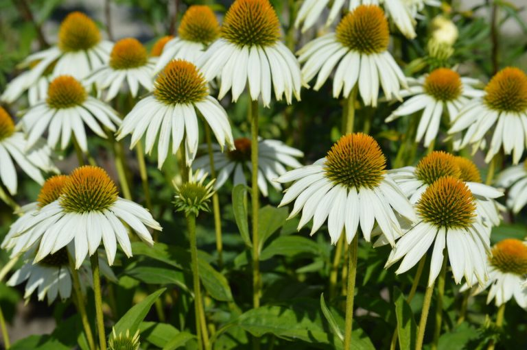 Эхинацея для Вашего сада: сорта, выращивание и уход