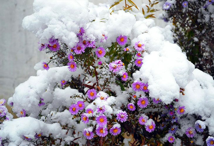 Кустовая астра под снегом