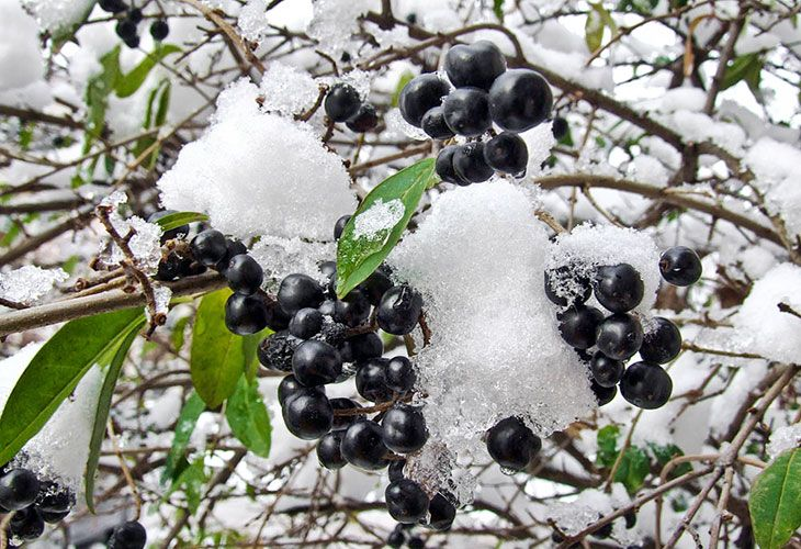 Ягоды бузины под снегом