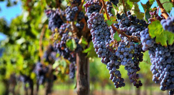 Французские сорта винограда