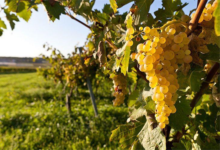 Виноград во Франции