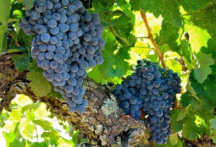 Виноград Кариньян