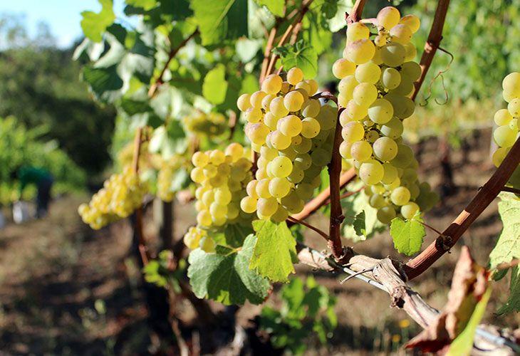 Виноград Франции