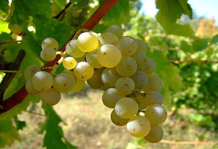 Виноград Юньи Белый