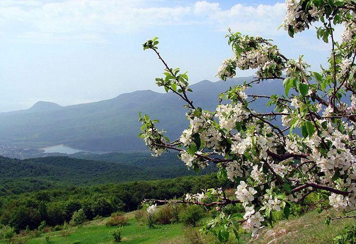 Цветущая груша в Крыму