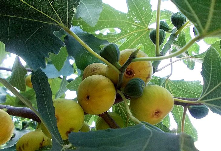 Золотой инжир на дереве
