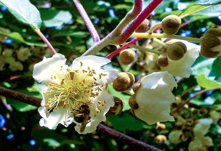 Инжир цветет