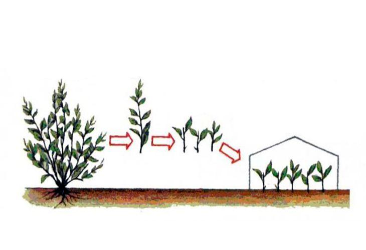 Размножение кизила черенками