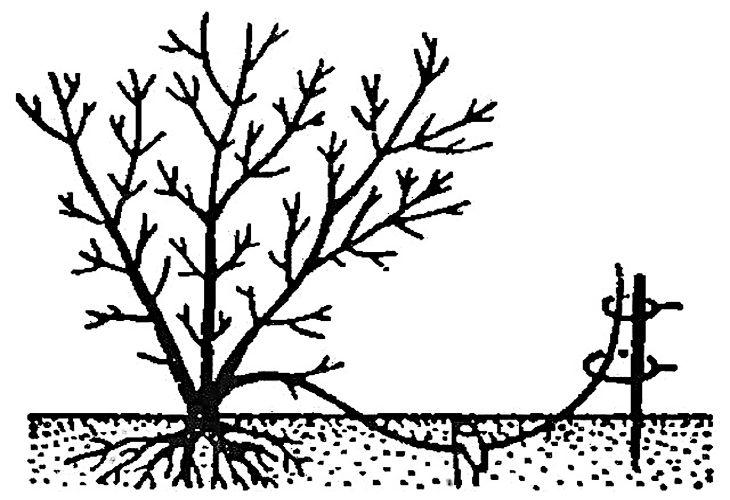 Размножение кизила отводками