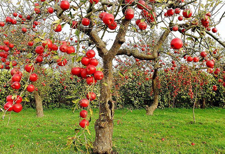 Как залечить дупло у яблони