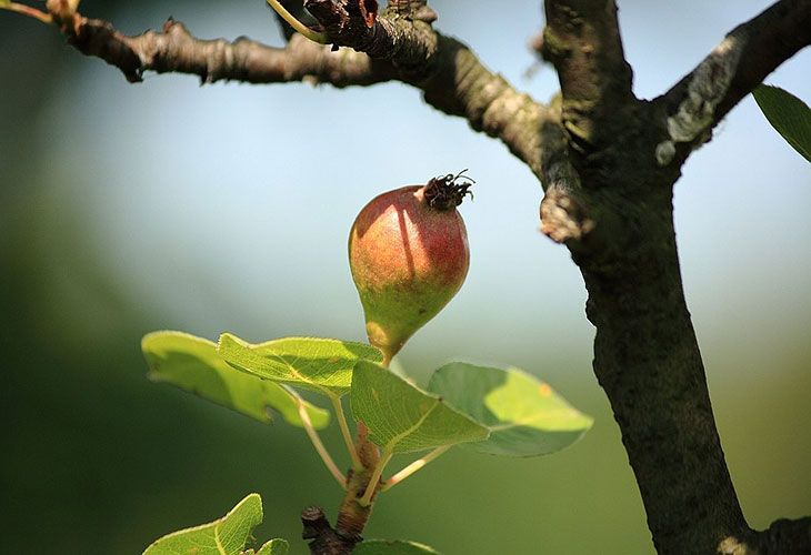 Груша с плодами