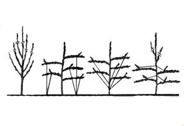 Как отгибать ветки на груше