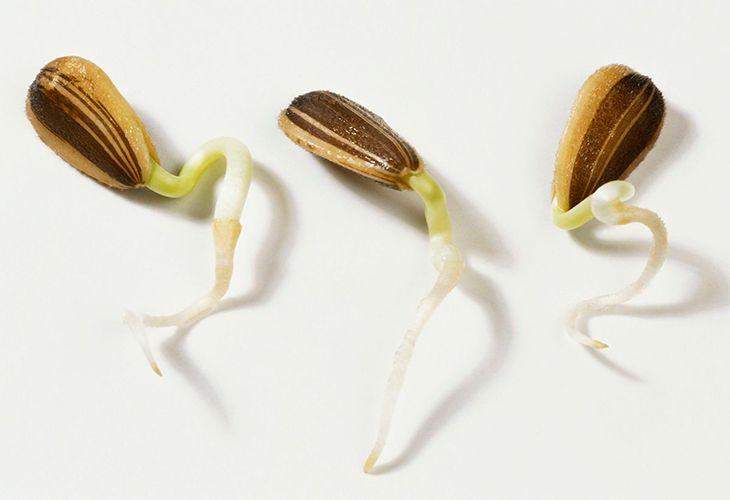 Проросшие семечки подсолнечника